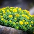 Растение родиола розовая: описание, лечебные свойства