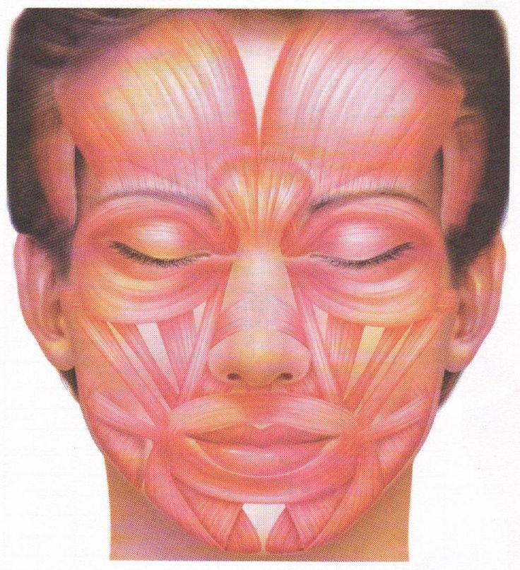 мышцы лица