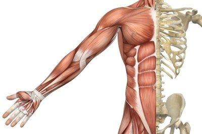 Мышечная масса: норма в процентах, способы расчета, важность контроля