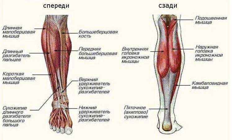 голень ноги
