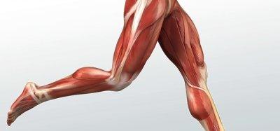 Мышцы ног: названия, строение и функции