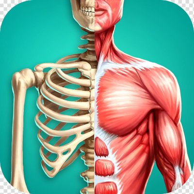 Строение тела человека и расположение внутренних органов