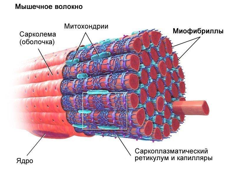 Строение миоцита