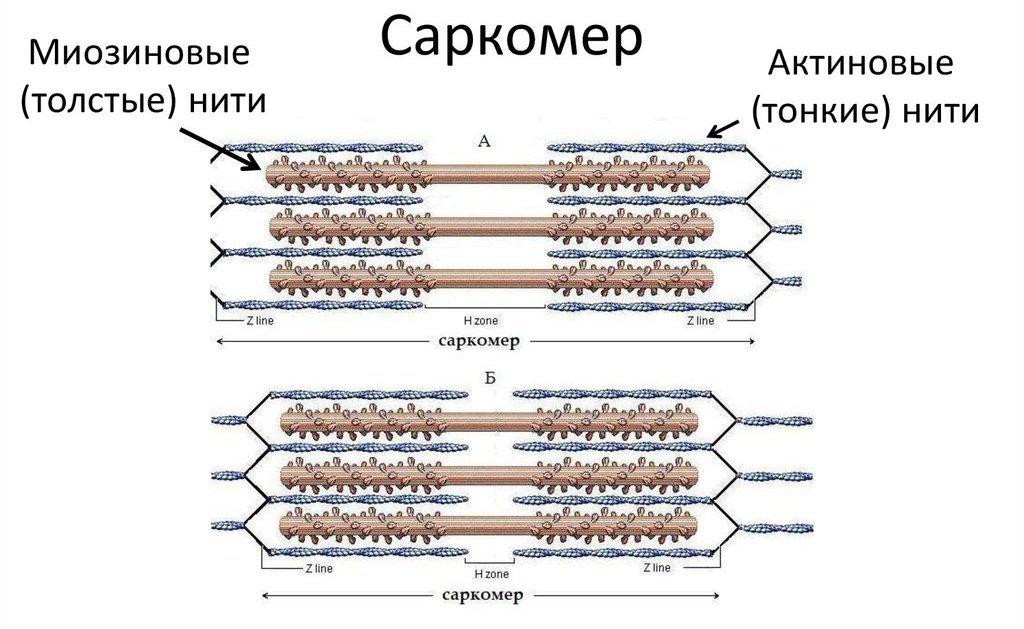 Строение саркомера