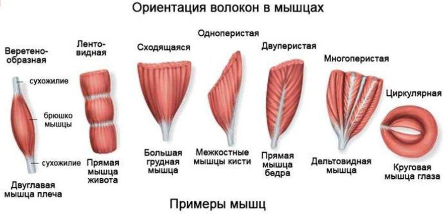 Формы мышц