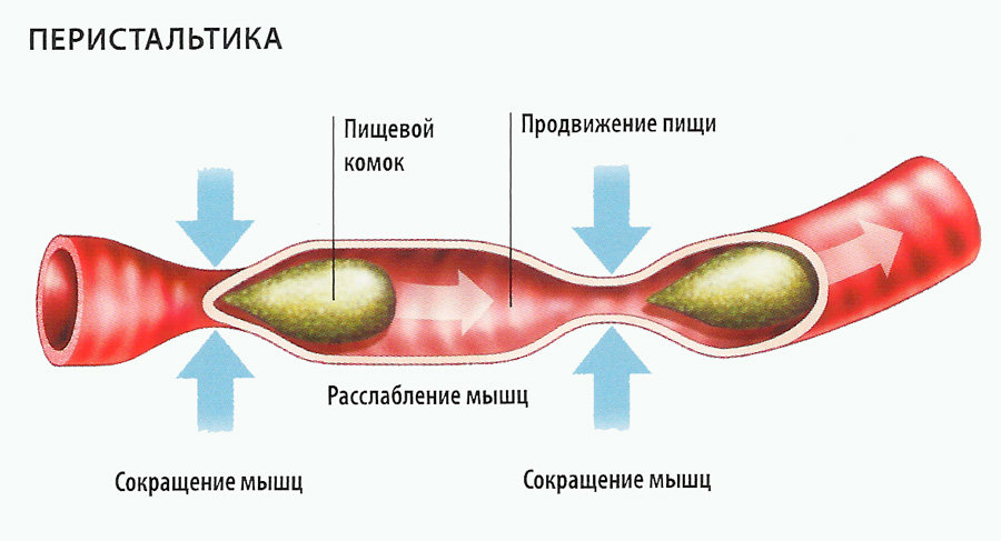 Перистальтика в кишечнике