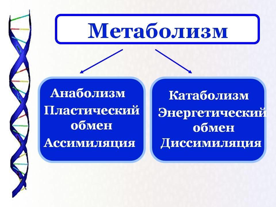 препараты ускоряющие метаболизм
